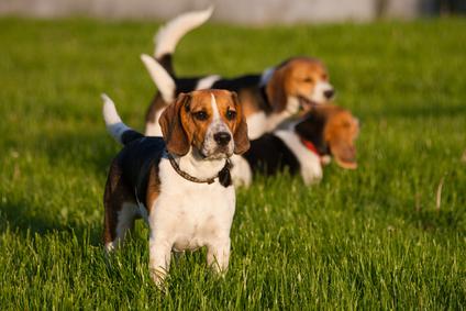despre cainii beagle